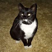 Teyha - zutrauliche verschmuste Katzendame