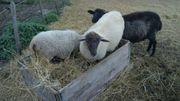 Schafe nur zur Haltung