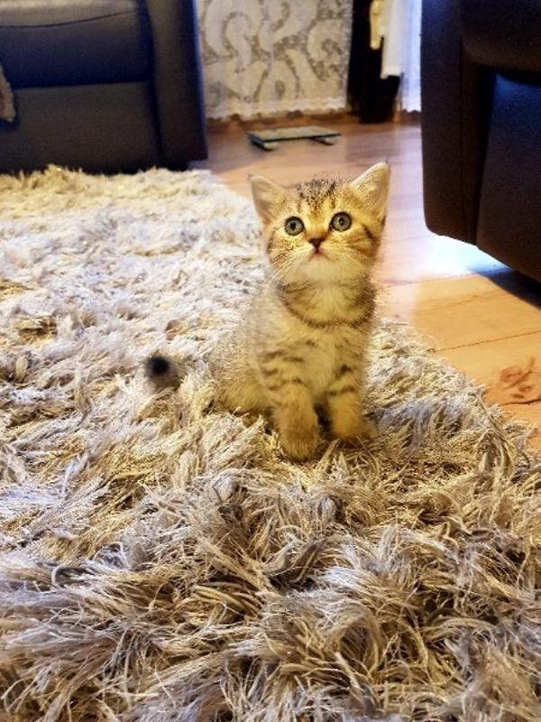 5 Reinrassige Bkh » Katzen