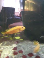 Kobaltorange-Buntbarsche - Melanochromis