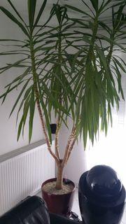 yucca palme pflanzen garten g nstige angebote. Black Bedroom Furniture Sets. Home Design Ideas