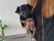 Chihuahua Welpe abzugeben