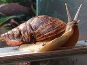 afrikanische Riesenschnecken schnacken