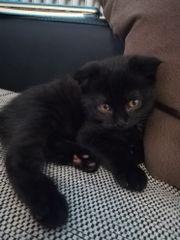 6 BKH Kitten