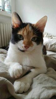 Katze vermisst! Belohnung!