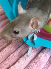 Junge Rattenmädchen zu vergeben