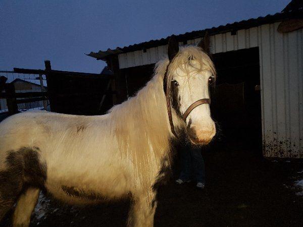 Tinkerstute im Auftrag » Pferde