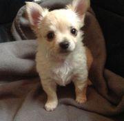 Schoko Chihuahua Babys