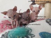 Sphynx Kitten, Katzenbabys,