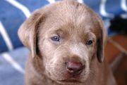 Labradorwelpen in silver,