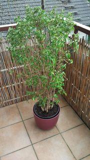 Ficus Benjamina Bäumchen