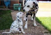 Dalmatiner Welpen aus