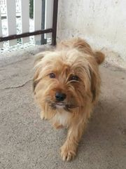 Danny Tibet Terrier