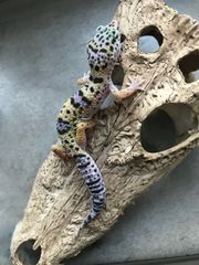 ENZ Leopardgecko Mack