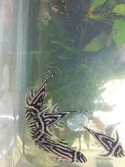 L46, Hypancistrus zebra,