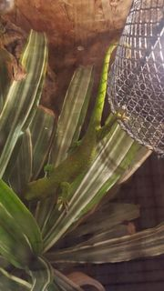 Madagaskar Taggecko Phelsuma grandis