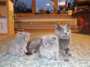 Britisch Kurzhaar Kitten(