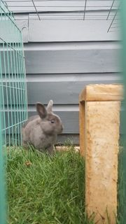 Farbenzwerg blau Kaninchen