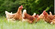Hühner / Hennen / Hähne /