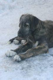 Irish Wolfhoundwelpe Rüde VDH