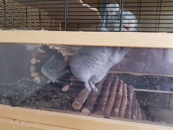Chinchillas jung,reinrassig, » Kleintiere