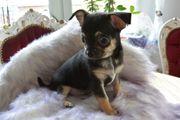 Wunderschönes Chihuahua Mädchen Welpe kleinbleibend