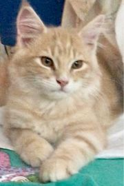 Junger Maine Coon