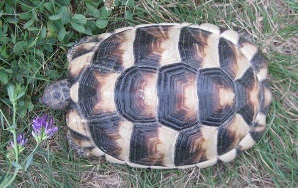 Breitrandschildkröte mit 540 » Reptilien, Terraristik
