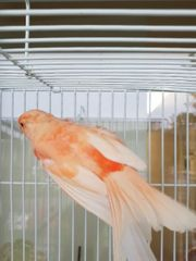 Kanarienvögel mit Käfig