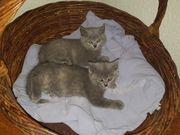 BKH Kitten blau/