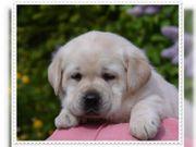 Zuckersüße Reinrassige Labrador Welpen zu