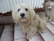 TAMALA Malteser Mix Hundemama sucht