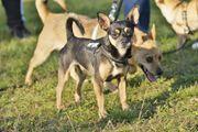 Alexander, Chihuahua Terrier