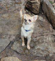 Chihuahuahündin Born to