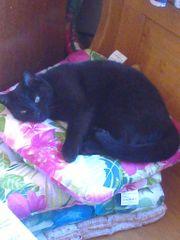 Schwarze Katze zu