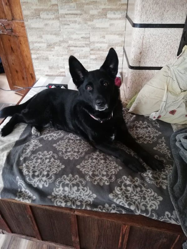 Hundebetreuung für liebe Schäfermixhündin