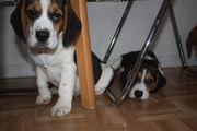 Verkaufen Beagle Welpen