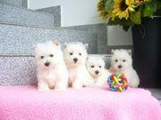 Westhighland-White Terrier -