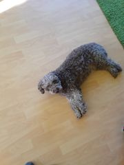 Kleiner Wasserhund schokobraun