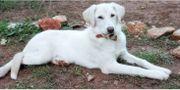 Labrador BELLA 5