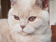 BKH Kitten creme Katerchen mit