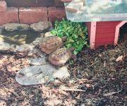 Griechische Landschildkröten abzugeben inklusive Zubehör
