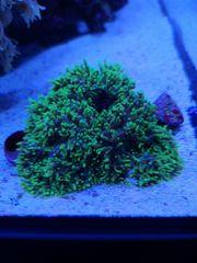 Meerwasser Scheibenanemone Anfänger Koralle