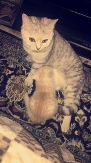 Britische Kurzhaarige Babykatzen