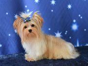 Yokshire Terrier Golddust XXS super