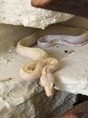 Boa Constrictor Albino