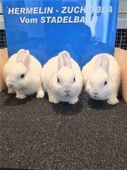 ZWERG Kaninchen HERMELIN