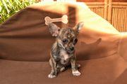 Süsser Chihuahuawelpe Hündin