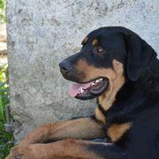 Archibald, Rottweiler-Schäferhund-