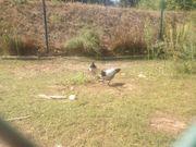 Hühnerküken LAKENFELDER HAHN
